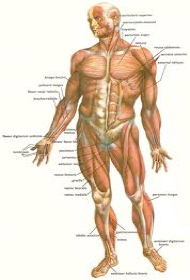Human anatomy and pressure points